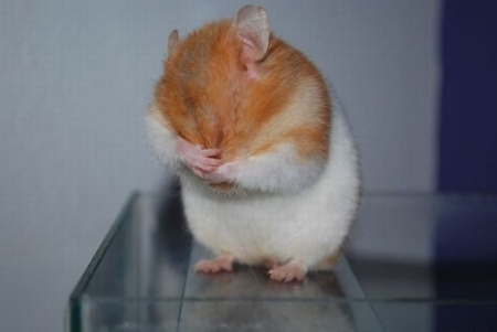 embarrassed-hamster